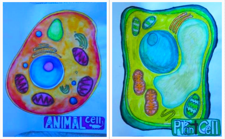 Students in the arts-integrated life science class drew animal and plant cells to understand the structures within. Credit: Mariale Hardiman/Johns Hopkins University